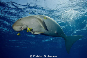 dugong in the red sea was playing with us and the cam. by Christian Schlamann
